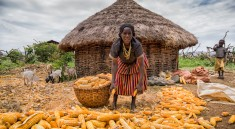 Woman of Konso tribe harvesting maize,