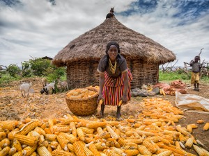 Woman of Konso tribe harvesting maize,